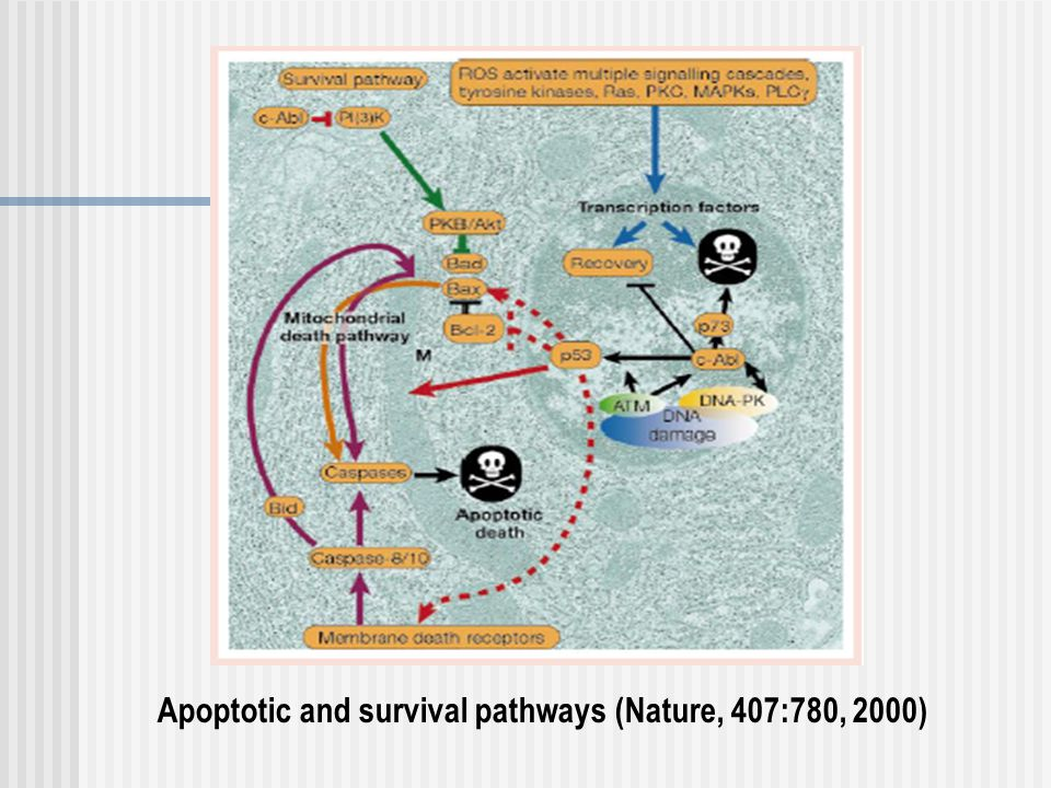 Apoptotic and survival pathways (Nature, 407:780, 2000)