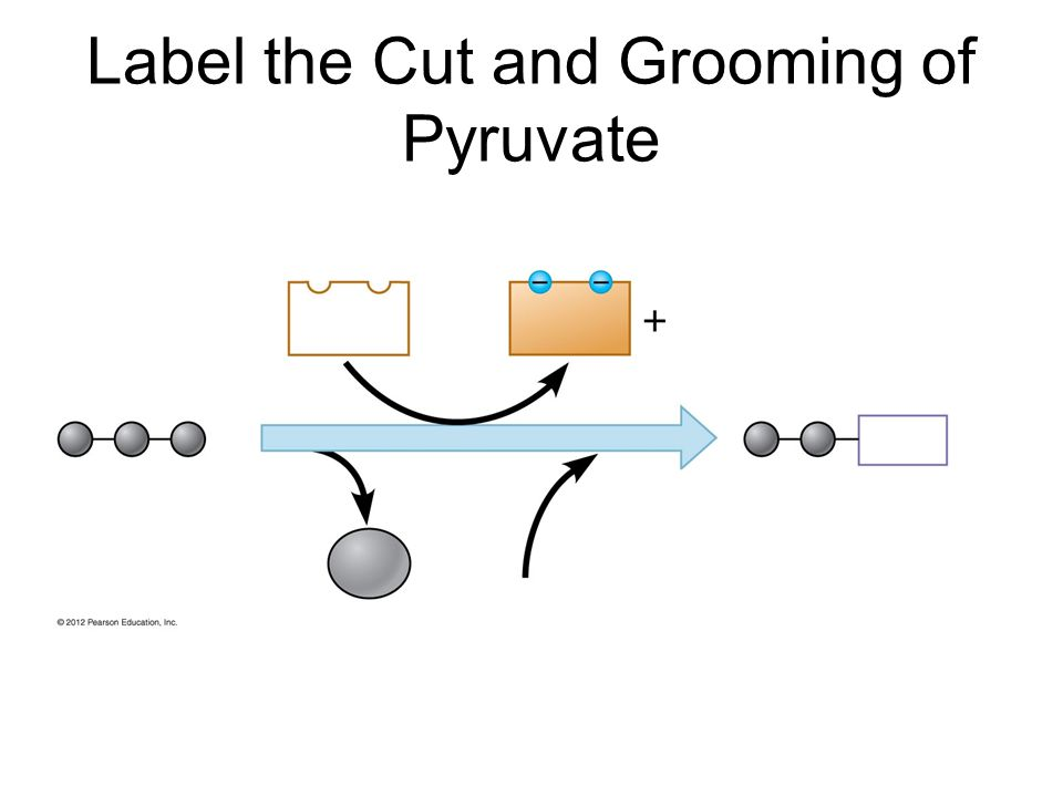 Label the Cut and Grooming of Pyruvate