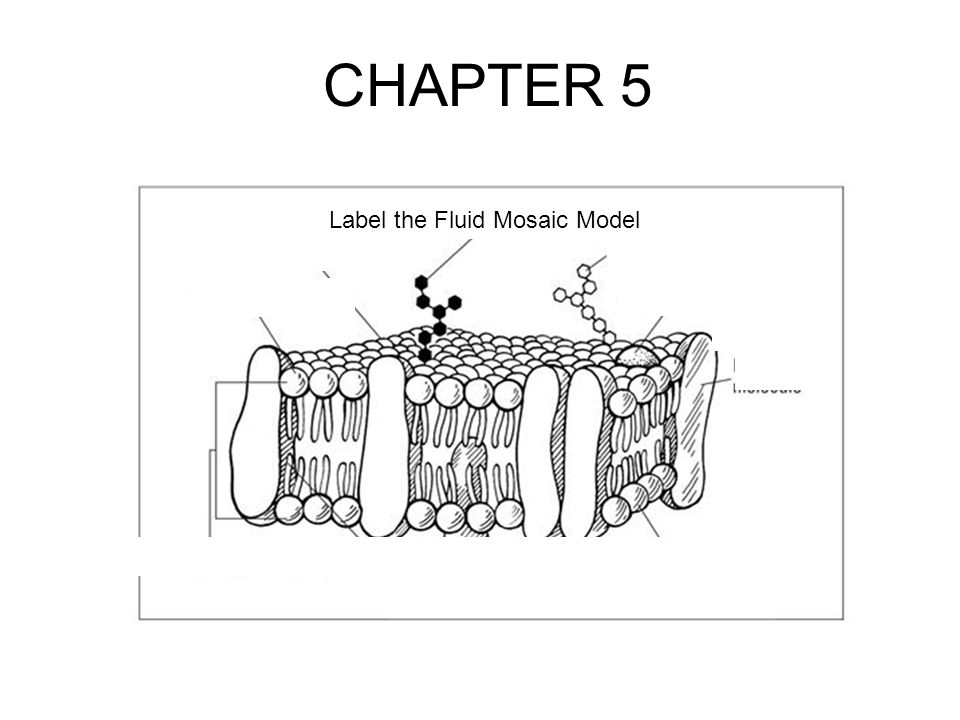 CHAPTER 5 Label the Fluid Mosaic Model