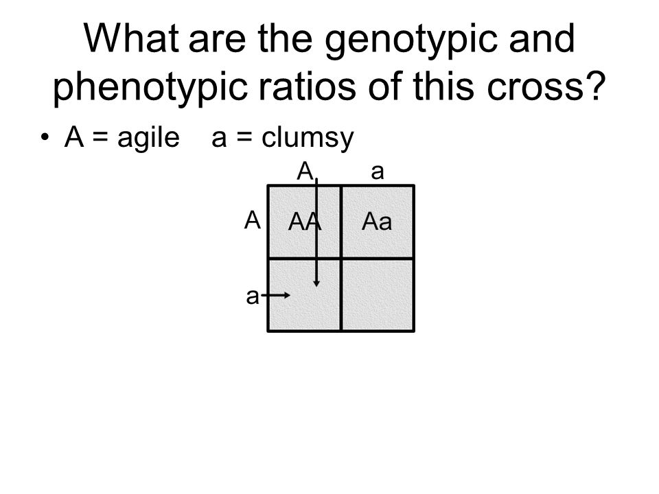 What are the genotypic and phenotypic ratios of this cross A = agile a = clumsy