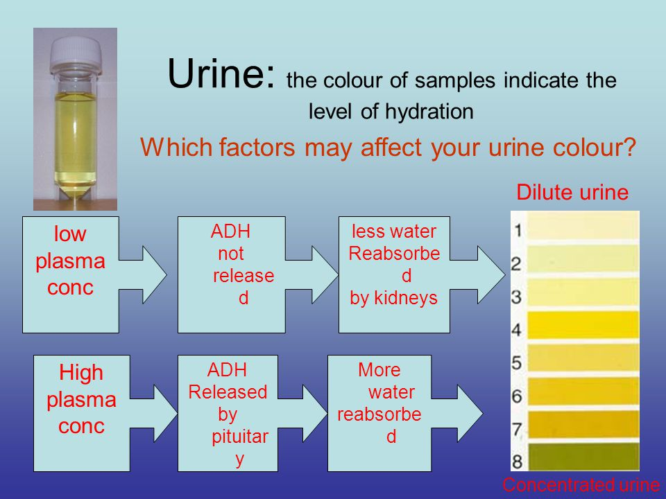 Urine: the colour of samples indicate the level of hydration High plasma conc ADH Released by pituitar y More water reabsorbe d low plasma conc ADH not release d less water Reabsorbe d by kidneys Dilute urine Concentrated urine Which factors may affect your urine colour