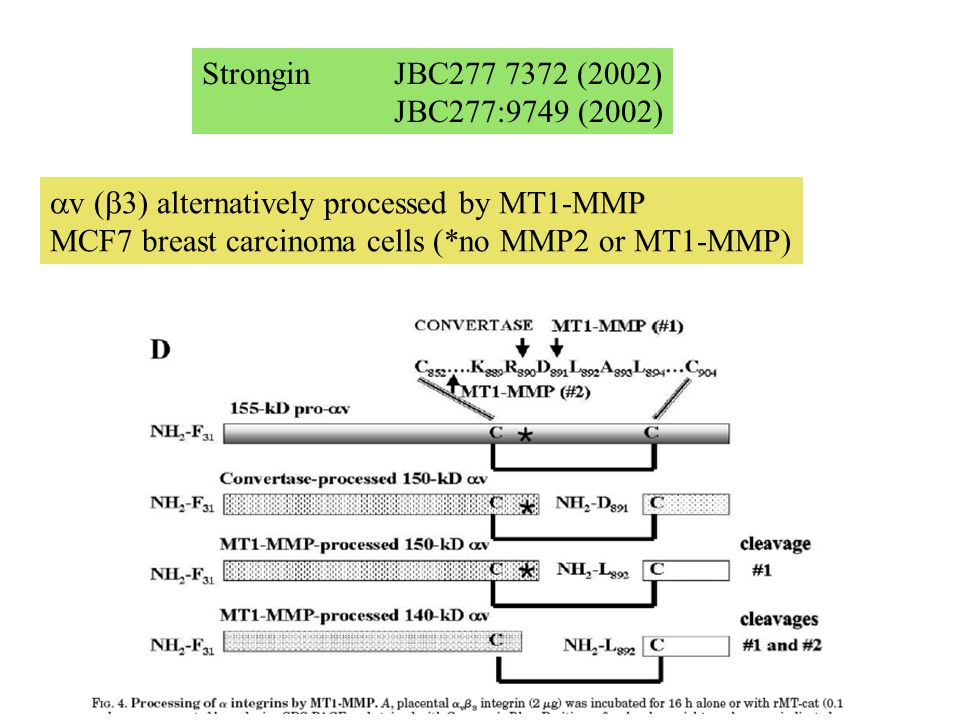 Strongin JBC277 7372 (2002) JBC277:9749 (2002)  v (  3) alternatively processed by MT1-MMP MCF7 breast carcinoma cells (*no MMP2 or MT1-MMP)