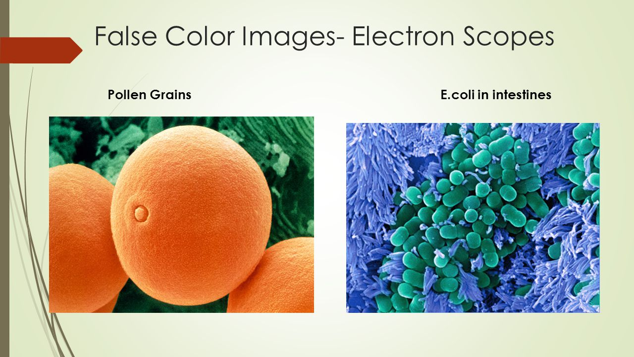 False Color Images- Electron Scopes Pollen GrainsE.coli in intestines