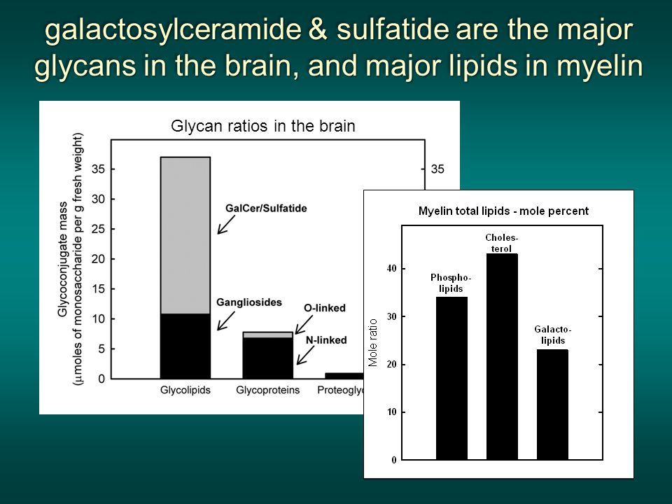 galactosylceramide & sulfatide are the major glycans in the brain, and major lipids in myelin galactosylceramide & sulfatide are the major glycans in the brain, and major lipids in myelin galactosylceramide & sulfatide are the major glycans in the brain, and major lipids in myelin galactosylceramide & sulfatide are the major glycans in the brain, and major lipids in myelin Glycan ratios in the brain
