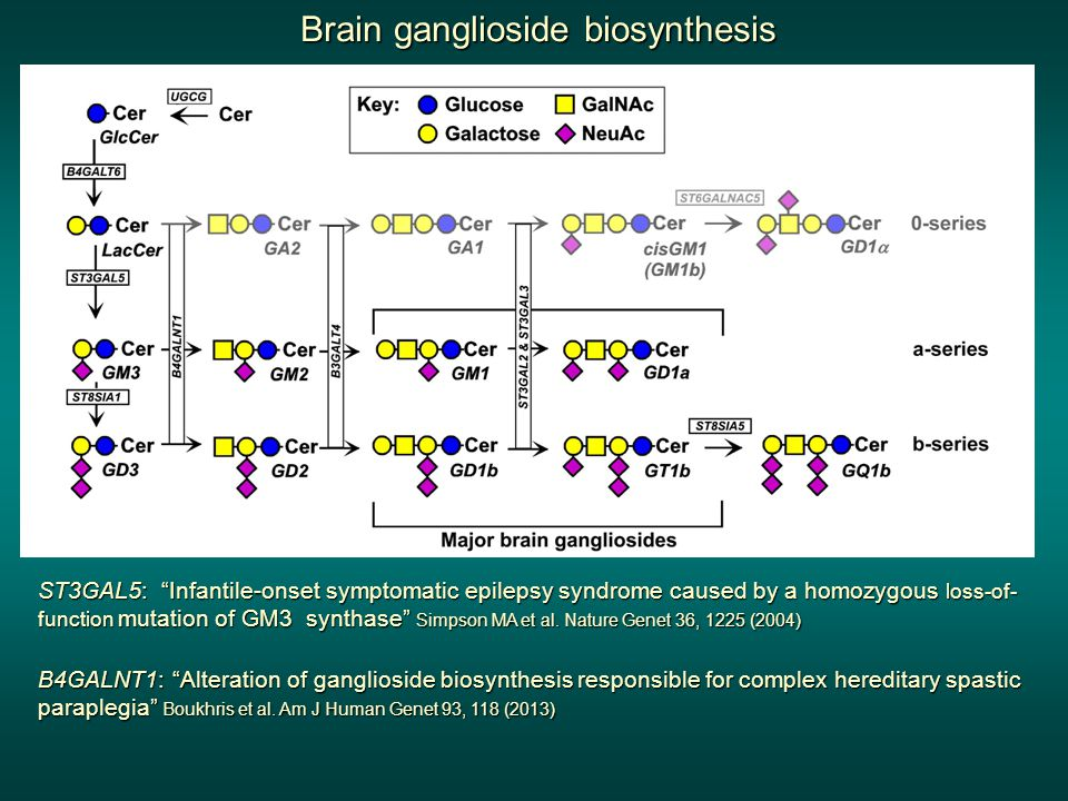 Brain ganglioside biosynthesis ST3GAL5: Infantile-onset symptomatic epilepsy syndrome caused by a homozygous loss-of- function mutation of GM3 synthase Simpson MA et al.