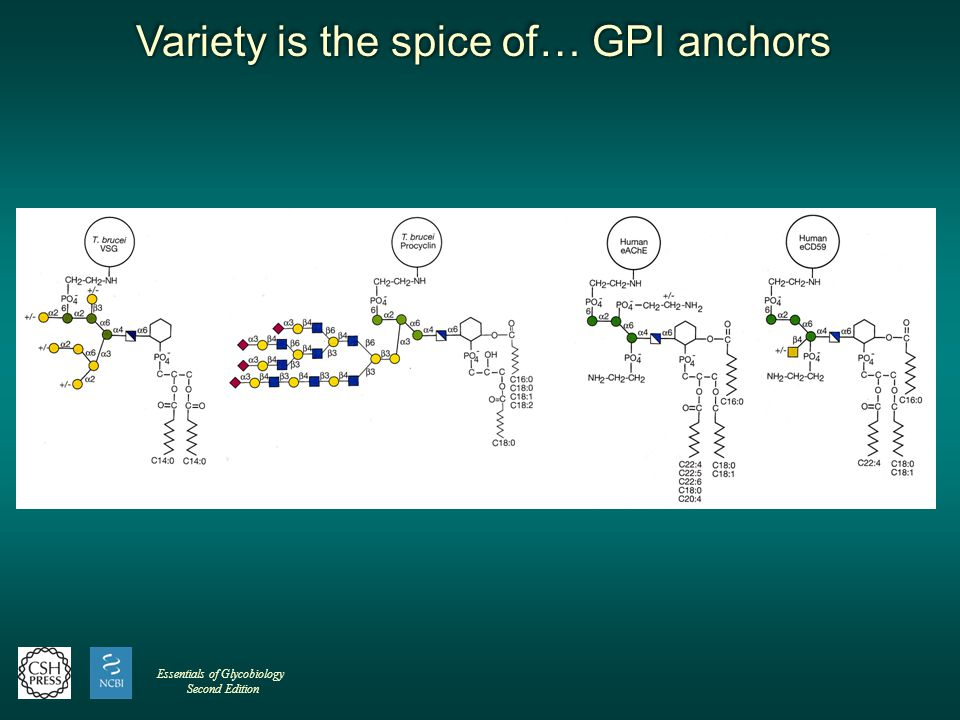Variety is the spice of… GPI anchors Variety is the spice of… GPI anchors Variety is the spice of… GPI anchors Variety is the spice of… GPI anchors Essentials of Glycobiology Second Edition