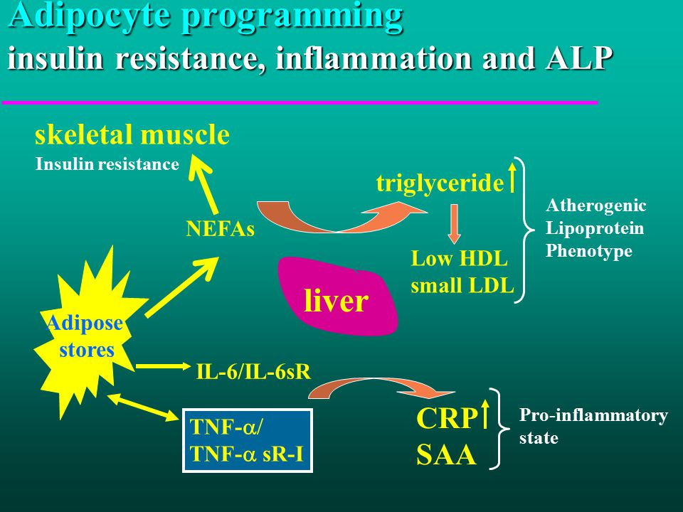 Adipocyte programming insulin resistance, inflammation and ALP Adipose stores NEFAs liver CRP SAA IL-6/IL-6sR TNF-  TNF-  sR-I triglyceride Low HDL small LDL Atherogenic Lipoprotein Phenotype Pro-inflammatory state skeletal muscle Insulin resistance