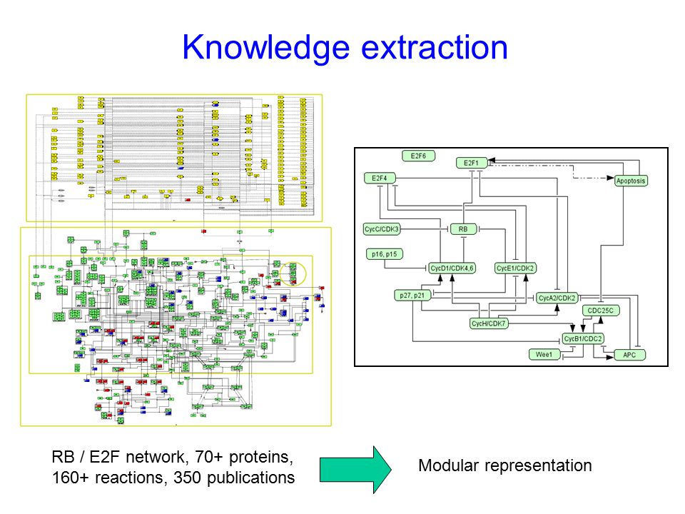 Knowledge extraction RB / E2F network, 70+ proteins, 160+ reactions, 350 publications Modular representation