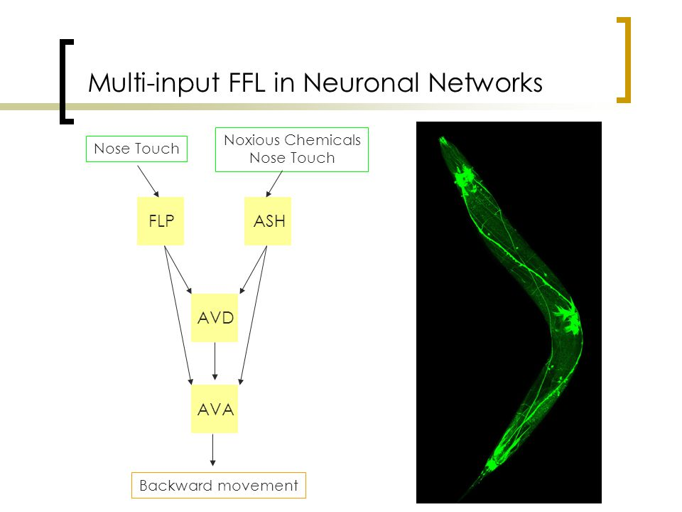 Multi-input FFL in Neuronal Networks FLPASH AVD AVA Nose Touch Noxious Chemicals Nose Touch Backward movement