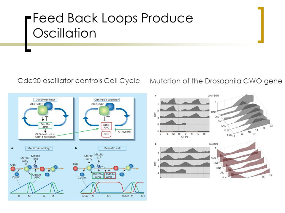 Feed Back Loops Produce Oscillation Mutation of the Drosophila CWO gene Cdc20 oscillator controls Cell Cycle