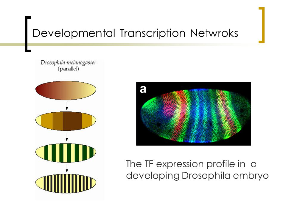 Developmental Transcription Netwroks The TF expression profile in a developing Drosophila embryo