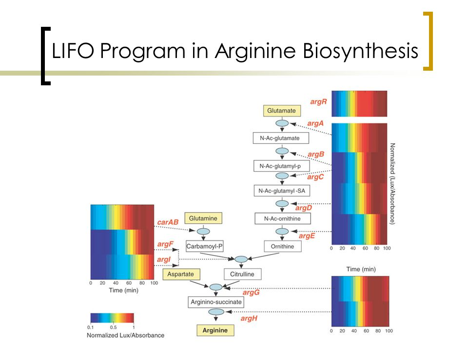 LIFO Program in Arginine Biosynthesis