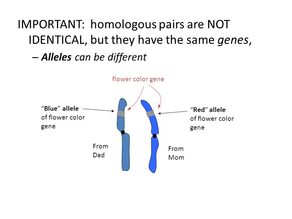 IMPORTANT: homologous pairs are NOT IDENTICAL, but they have the same genes, – Alleles can be different flower color gene From Dad From Mom Blue allele of flower color gene Red allele of flower color gene