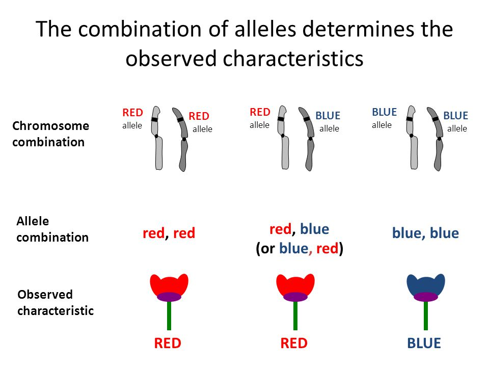 The combination of alleles determines the observed characteristics Chromosome combination Allele combination Observed characteristic RED allele RED allele RED allele BLUE allele BLUE allele BLUE allele red, red red, blue (or blue, red) blue, blue RED BLUE