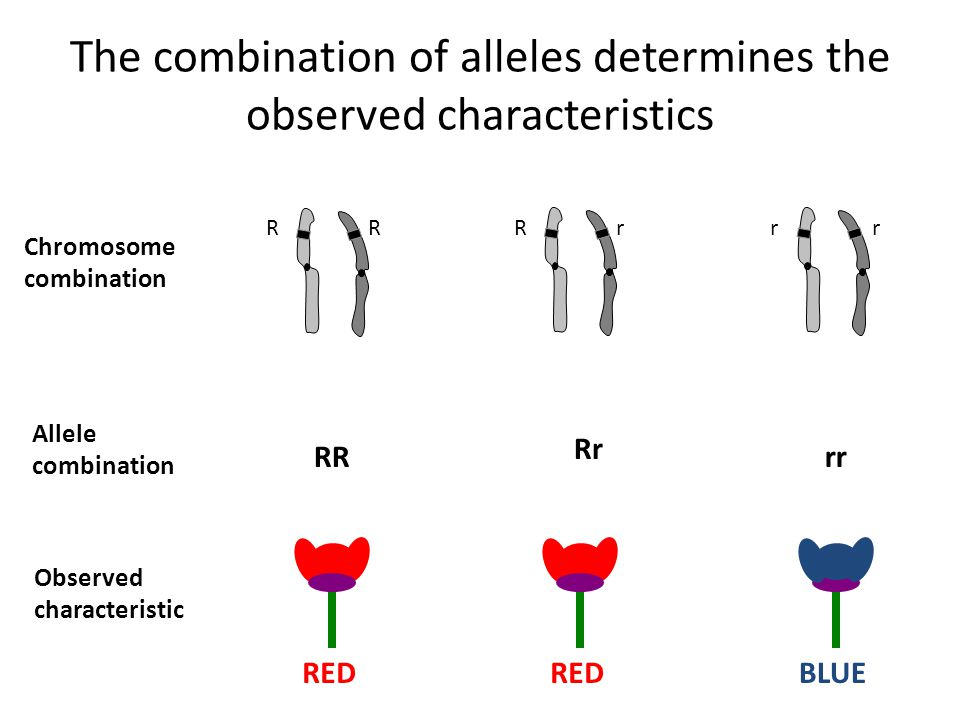 The combination of alleles determines the observed characteristics R Chromosome combination Allele combination Observed characteristic RR Rr rr RED BLUE RRrrr