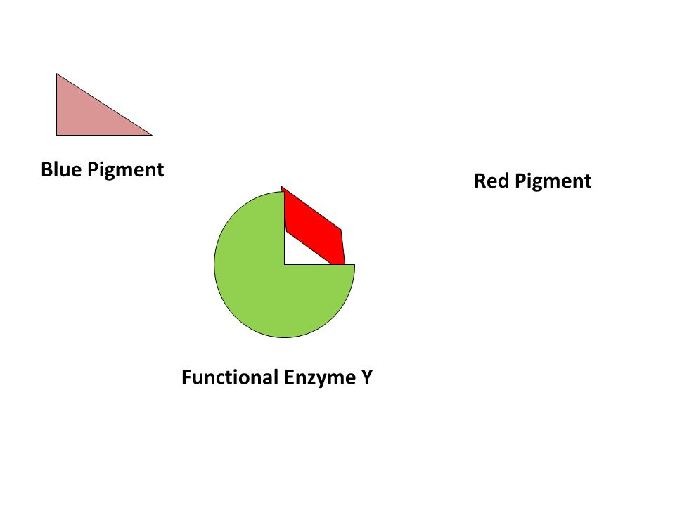 Blue Pigment Functional Enzyme Y Red Pigment