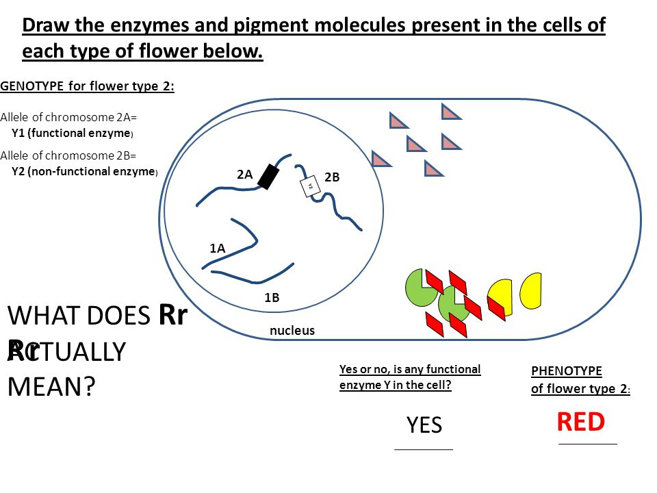 Draw the enzymes and pigment molecules present in the cells of each type of flower below.