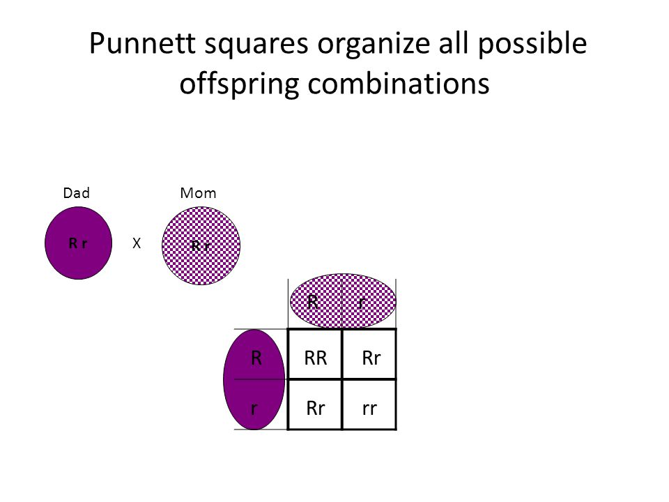 Punnett squares organize all possible offspring combinations R r X Rr R r RR Rrrr Rr DadMom