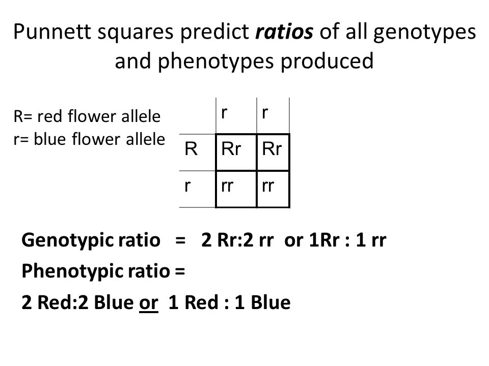 Punnett squares predict ratios of all genotypes and phenotypes produced Genotypic ratio = 2 Rr:2 rr or 1Rr : 1 rr Phenotypic ratio = 2 Red:2 Blue or 1 Red : 1 Blue rr RRr rrr R= red flower allele r= blue flower allele
