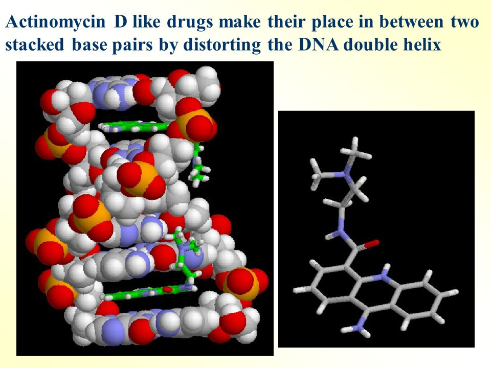 Actinomycin D like drugs make their place in between two stacked base pairs by distorting the DNA double helix