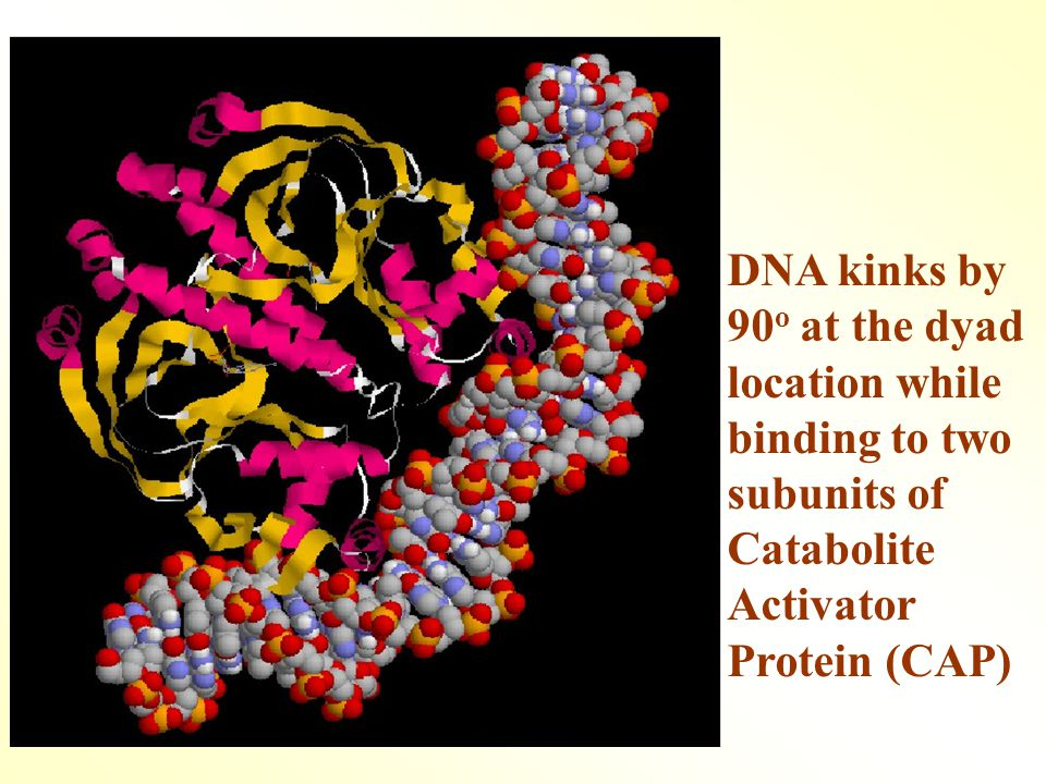 DNA kinks by 90 o at the dyad location while binding to two subunits of Catabolite Activator Protein (CAP)