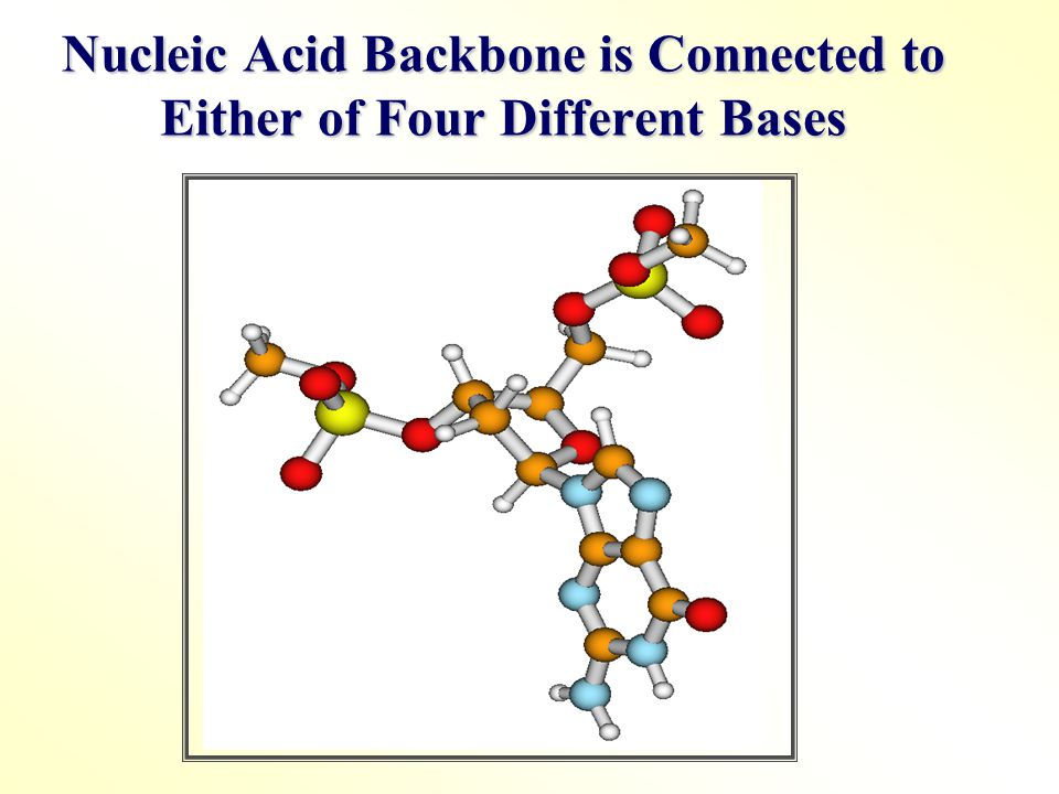 Nucleic Acid Backbone is Connected to Either of Four Different Bases