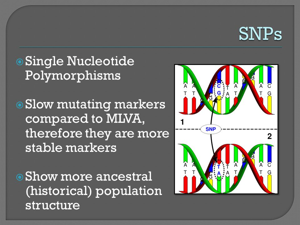  Single Nucleotide Polymorphisms  Slow mutating markers compared to MLVA, therefore they are more stable markers  Show more ancestral (historical) population structure