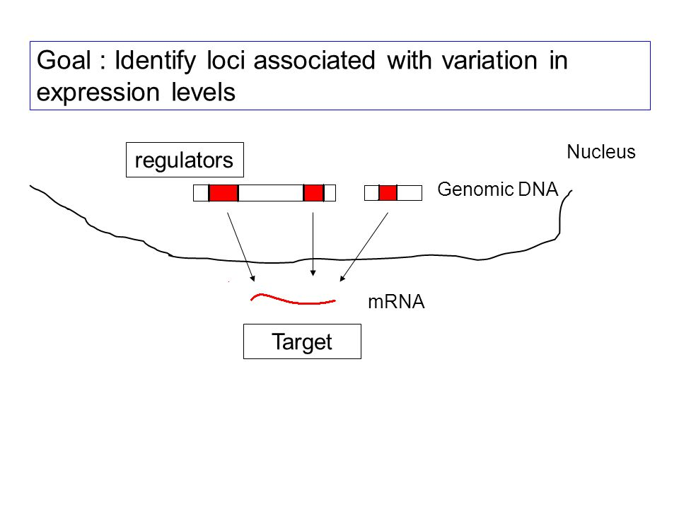 Goal : Identify loci associated with variation in expression levels Genomic DNA mRNA Nucleus mRNA regulators Target