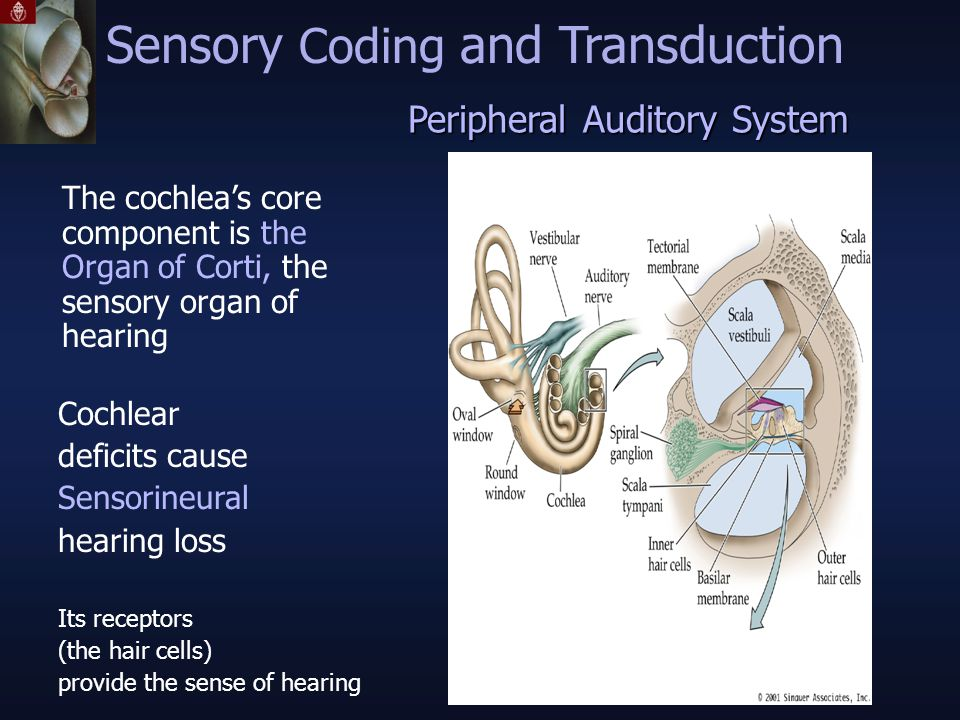 The cochlea's core component is the Organ of Corti, the sensory organ of hearing Peripheral Auditory System Sensory Coding and Transduction Cochlear deficits cause Sensorineural hearing loss Its receptors (the hair cells) provide the sense of hearing
