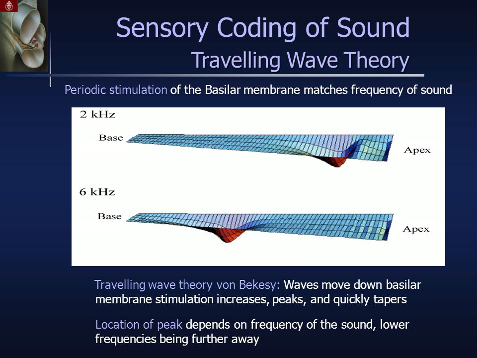 Travelling wave theory von Bekesy: Waves move down basilar membrane stimulation increases, peaks, and quickly tapers Periodic stimulation of the Basilar membrane matches frequency of sound Location of peak depends on frequency of the sound, lower frequencies being further away Sensory Coding of Sound Travelling Wave Theory