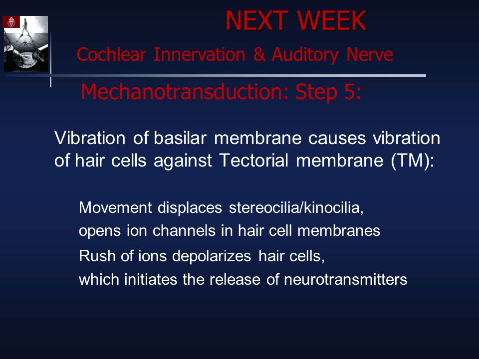 Mechanotransduction: Step 5: Vibration of basilar membrane causes vibration of hair cells against Tectorial membrane (TM): Movement displaces stereocilia/kinocilia, opens ion channels in hair cell membranes Rush of ions depolarizes hair cells, which initiates the release of neurotransmitters NEXT WEEK Cochlear Innervation & Auditory Nerve