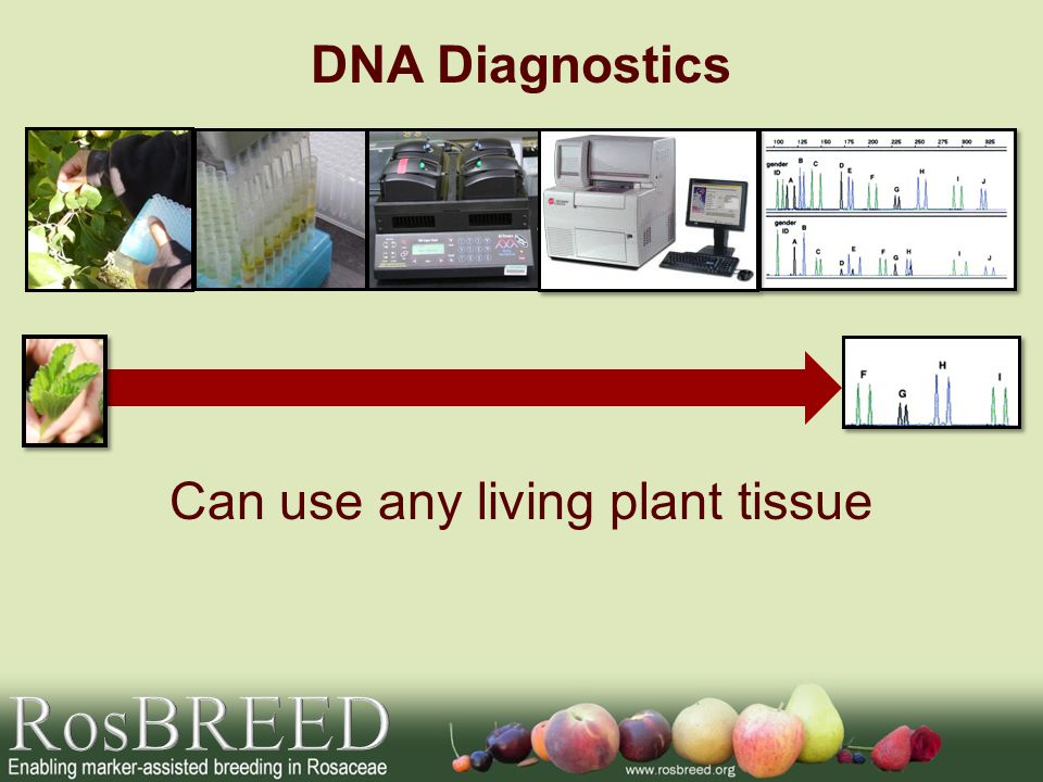Can use any living plant tissue DNA Diagnostics
