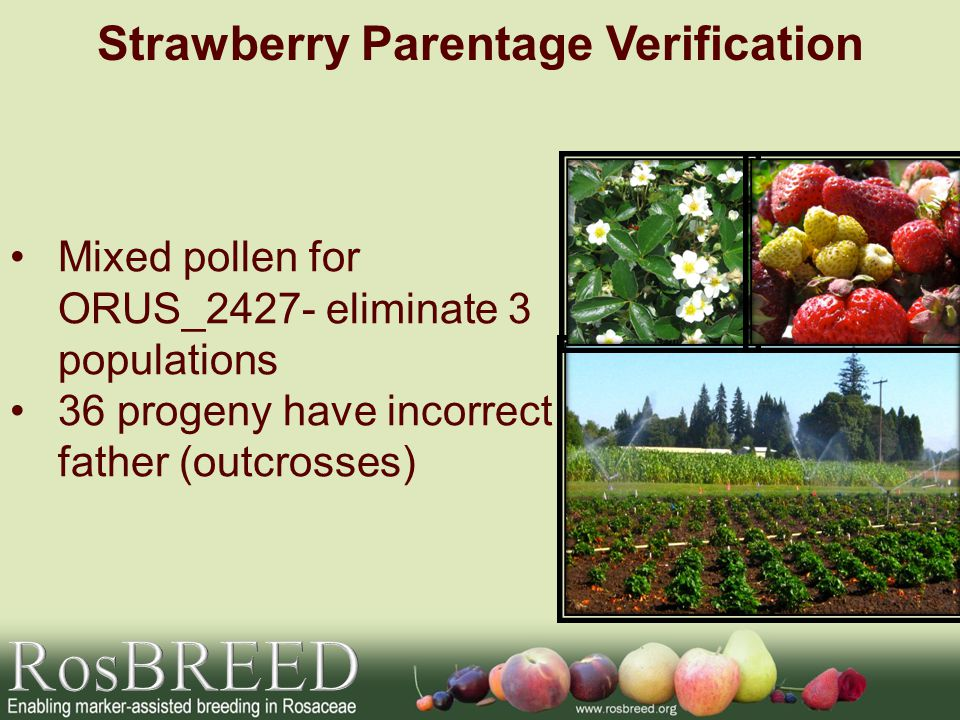 Mixed pollen for ORUS_2427- eliminate 3 populations 36 progeny have incorrect father (outcrosses) Strawberry Parentage Verification