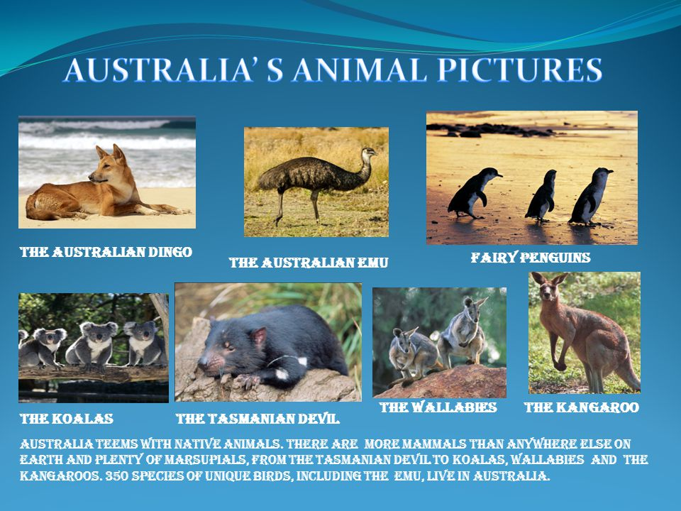 The Australian Dingo The Australian Emu Fairy Penguins The KoalaSThe Tasmanian Devil The WallabIES Australia teems with native animals.