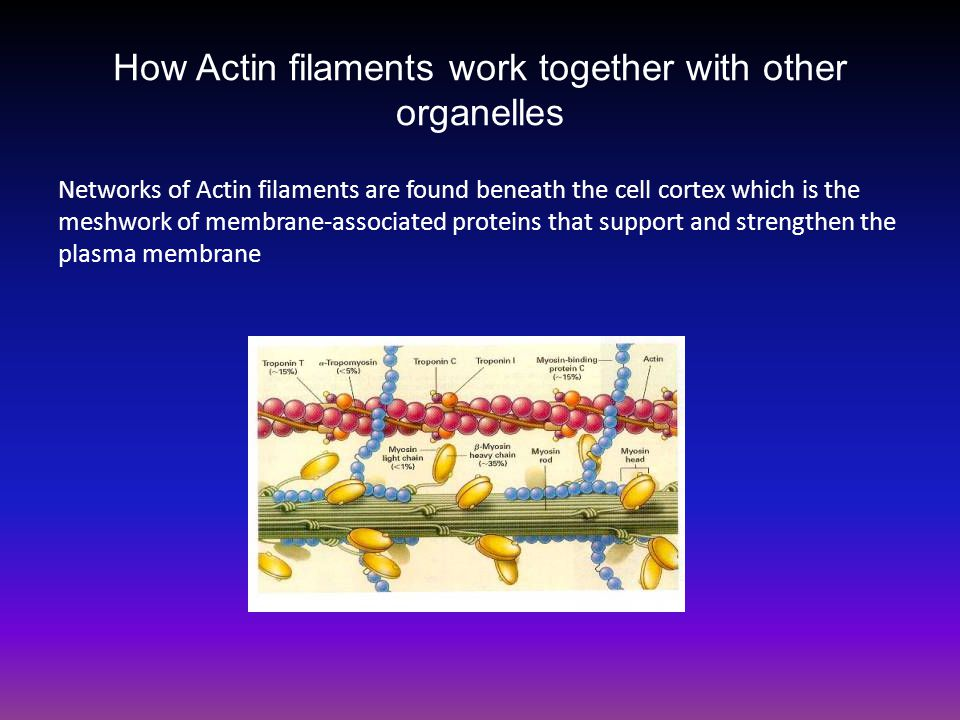 How Actin filaments work together with other organelles Networks of Actin filaments are found beneath the cell cortex which is the meshwork of membrane-associated proteins that support and strengthen the plasma membrane