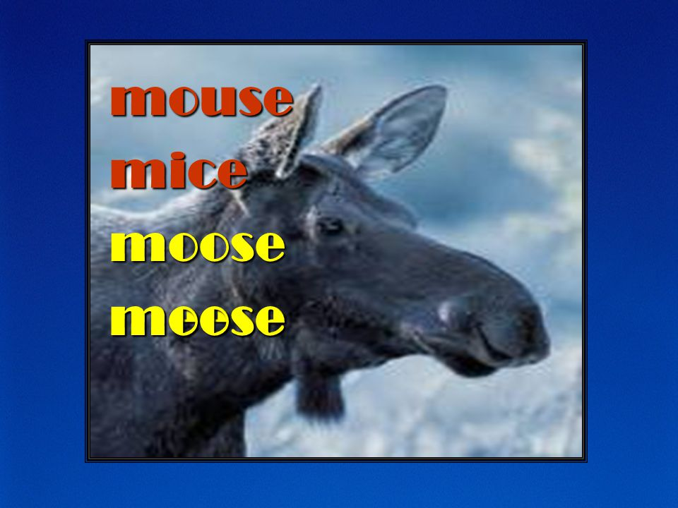 mouse mice moose meese moose