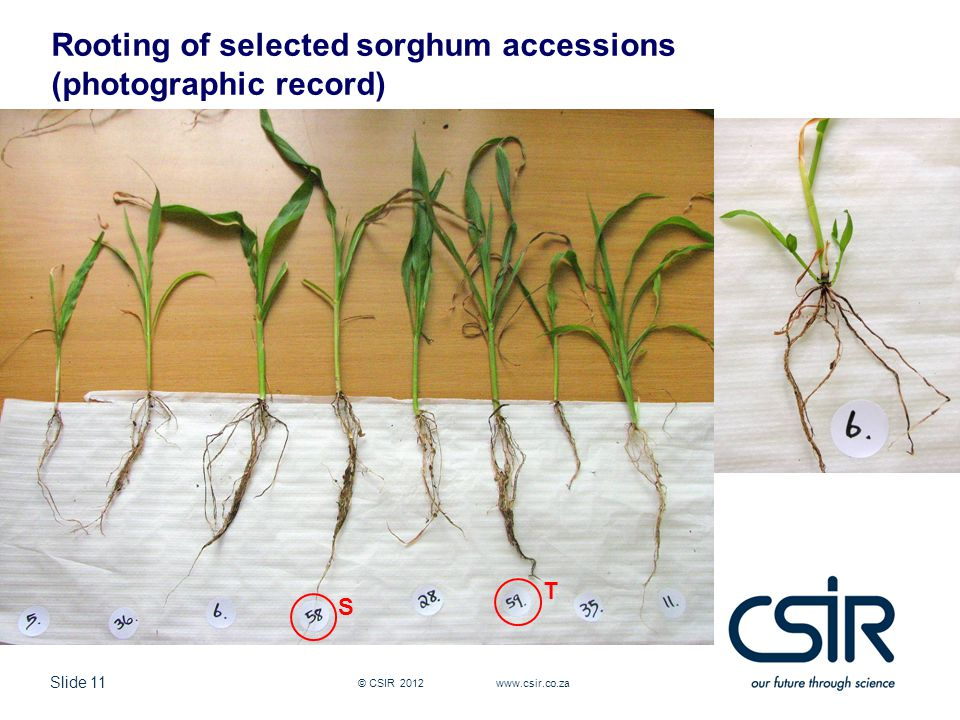 Slide 11 © CSIR 2012 www.csir.co.za Rooting of selected sorghum accessions (photographic record) S T