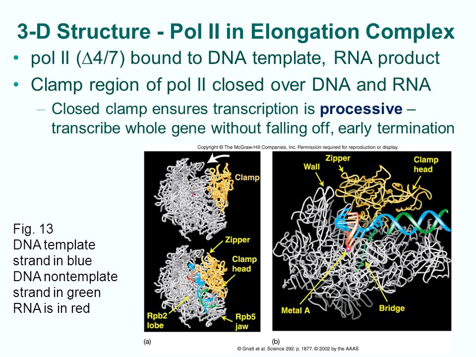 10-14 3-D Structure - Pol II in Elongation Complex pol II (  4/7) bound to DNA template, RNA product Clamp region of pol II closed over DNA and RNA –Closed clamp ensures transcription is processive – transcribe whole gene without falling off, early termination Fig.