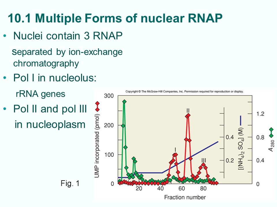 10-3 10.1 Multiple Forms of nuclear RNAP Nuclei contain 3 RNAP s eparated by ion-exchange chromatography Pol I in nucleolus: rRNA genes Pol II and pol III in nucleoplasm Fig.