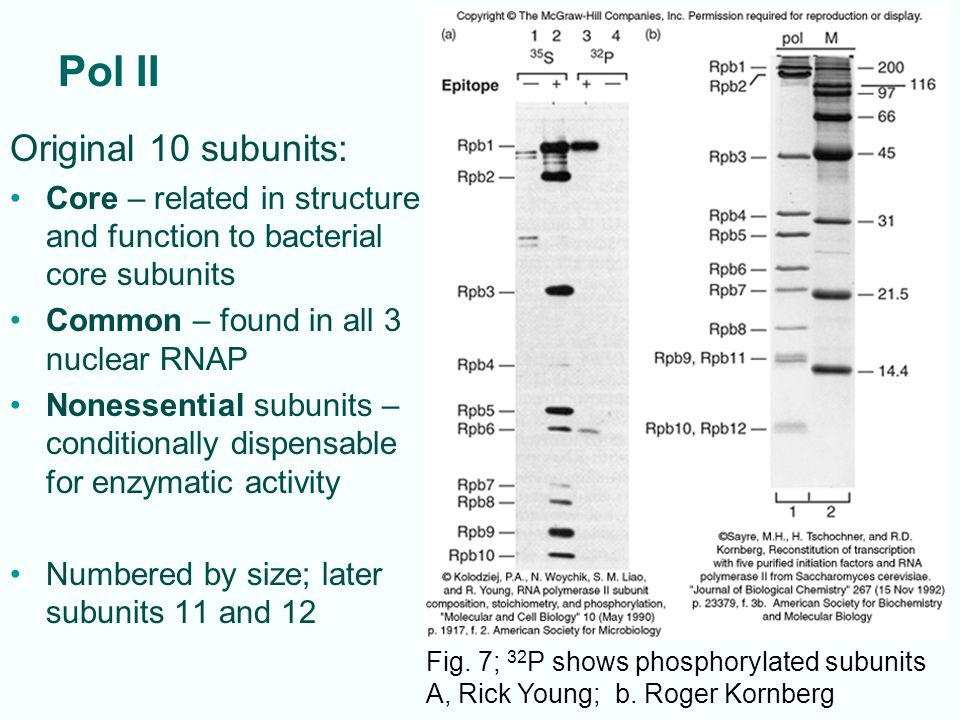 Pol II Original 10 subunits: Core – related in structure and function to bacterial core subunits Common – found in all 3 nuclear RNAP Nonessential subunits – conditionally dispensable for enzymatic activity Numbered by size; later subunits 11 and 12 Fig.