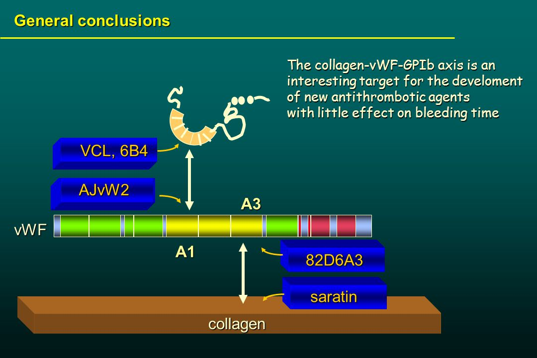 collagen General conclusions The collagen-vWF-GPIb axis is an interesting target for the develoment of new antithrombotic agents The collagen-vWF-GPIb axis is an interesting target for the develoment of new antithrombotic agents with little effect on bleeding time A1A3vWF VCL, 6B4 AJvW2 AJvW2 saratin 82D6A3