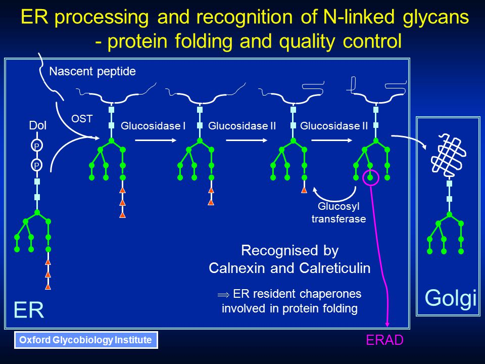 Oxford Glycobiology Institute Recognised by Calnexin and Calreticulin  ER resident chaperones involved in protein folding Glucosidase IGlucosidase II Glucosyl transferase ER Golgi ER processing and recognition of N-linked glycans - protein folding and quality control OST P P Dol Nascent peptide ERAD