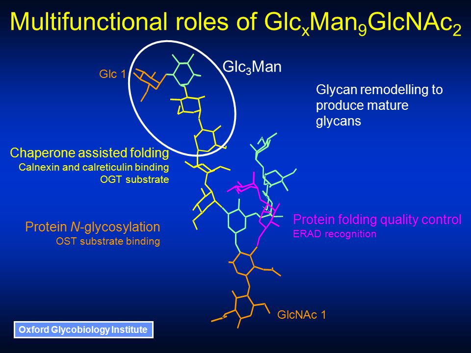 Oxford Glycobiology Institute Multifunctional roles of Glc x Man 9 GlcNAc 2 Chaperone assisted folding Calnexin and calreticulin binding OGT substrate Protein N-glycosylation OST substrate binding Protein folding quality control ERAD recognition Glycan remodelling to produce mature glycans Glc 1 GlcNAc 1 Glc 3 Man