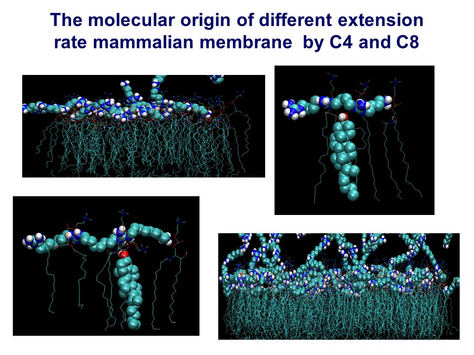 The molecular origin of different extension rate mammalian membrane by C4 and C8
