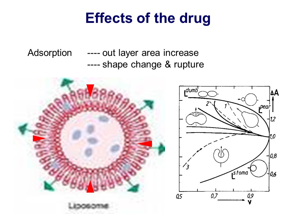 Effects of the drug Adsorption ---- out layer area increase ---- shape change & rupture