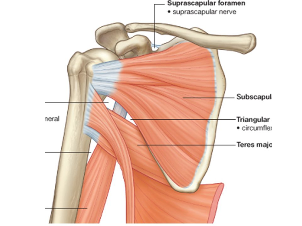 Muscle Of The Back Muscle Are Arranged In 2 Layers Ppt Video