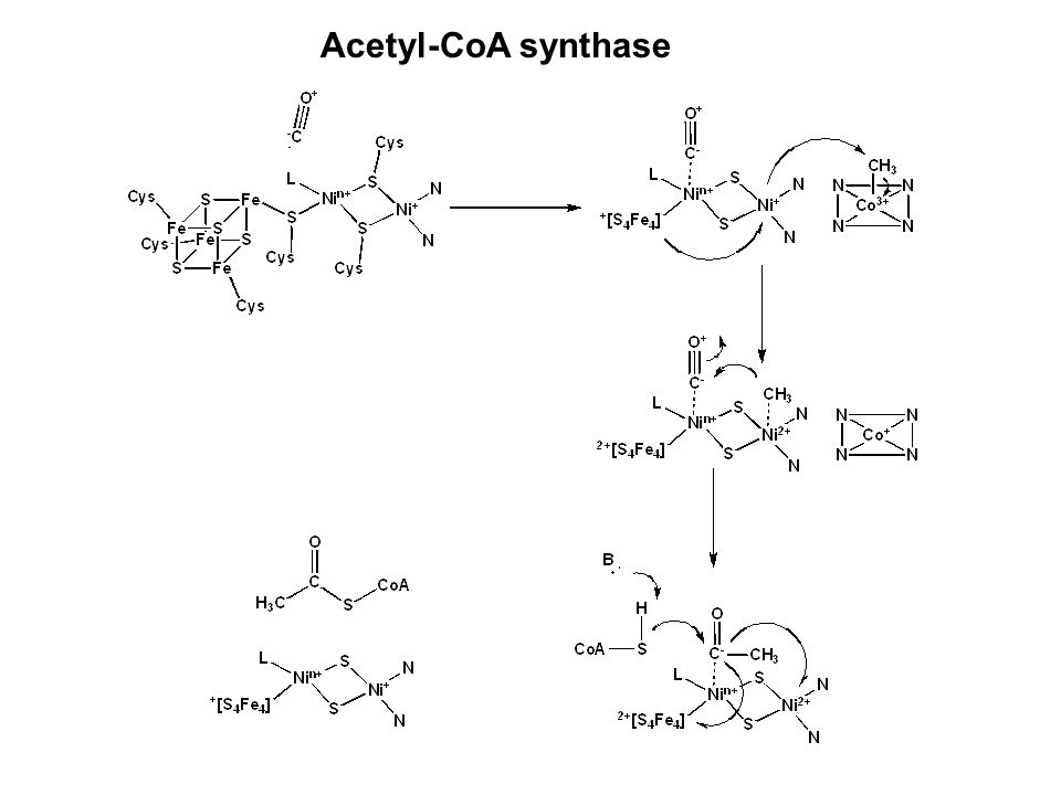 Acetyl-CoA synthase