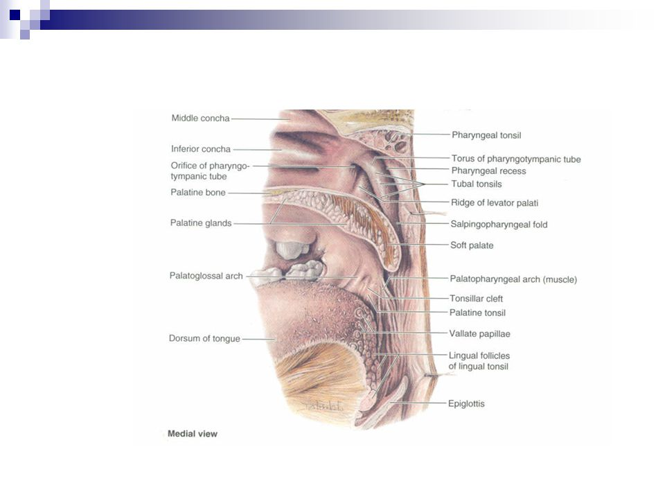 Fantastic Tonsil Anatomy And Physiology Collection - Anatomy And ...