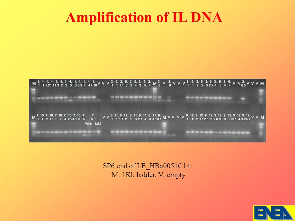SP6 end of LE_HBa0051C14: M: 1Kb ladder, V: empty Amplification of IL DNA