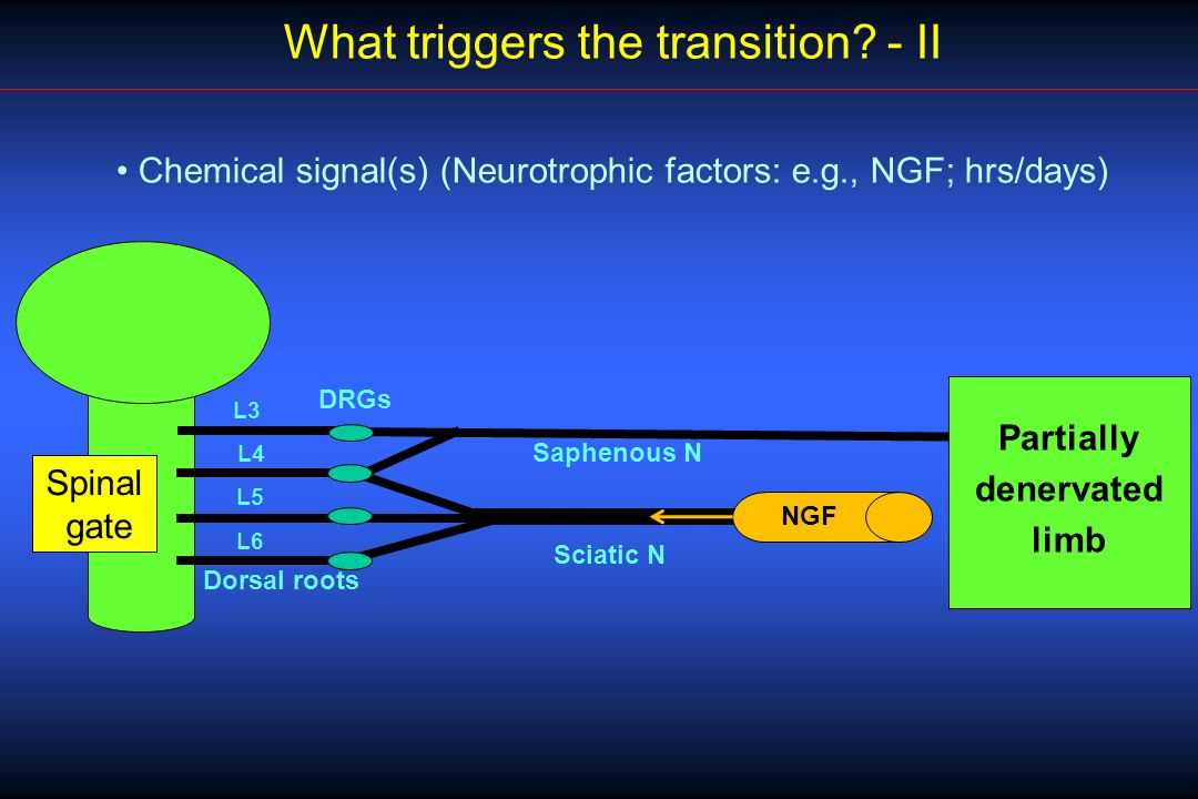 L4 L5 L6 DRGs Sciatic N L3 Saphenous N Spinal gate Dorsal roots What triggers the transition.